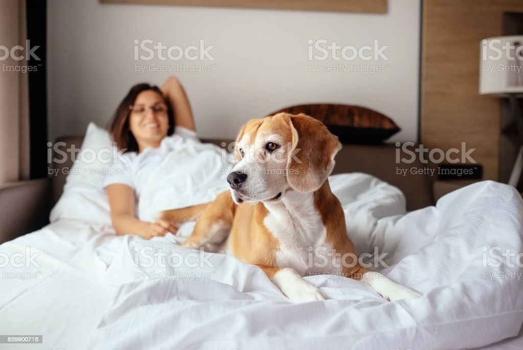 Woman and her beagle dog meet morning in bed stock photo