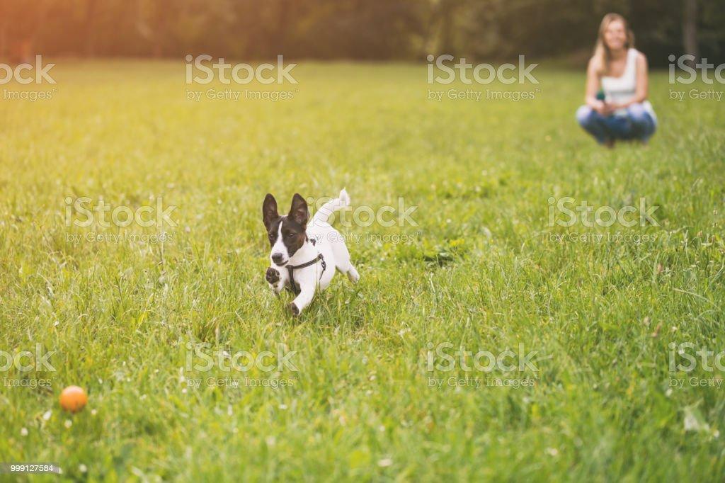 Mulher e seu cachorro Jack Russell Terrier brincando - foto de acervo