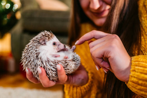 Woman and her hedgehog at Christmas stock photo