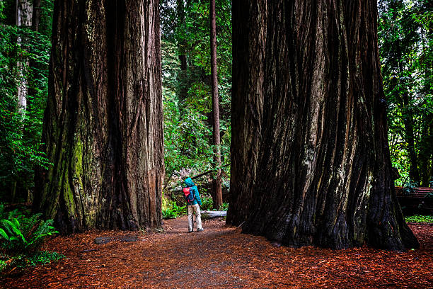 Woman at SG in Jedediah Smith Redwoods State Park, CA Woman at Stout Grove on trail through the Jedediah Smith Redwoods State Park in Northern California, USA redwood tree stock pictures, royalty-free photos & images
