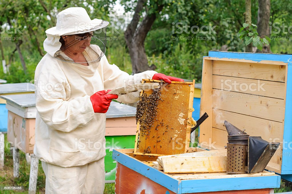 woman beekeeper selects honey comb to drain stock photo