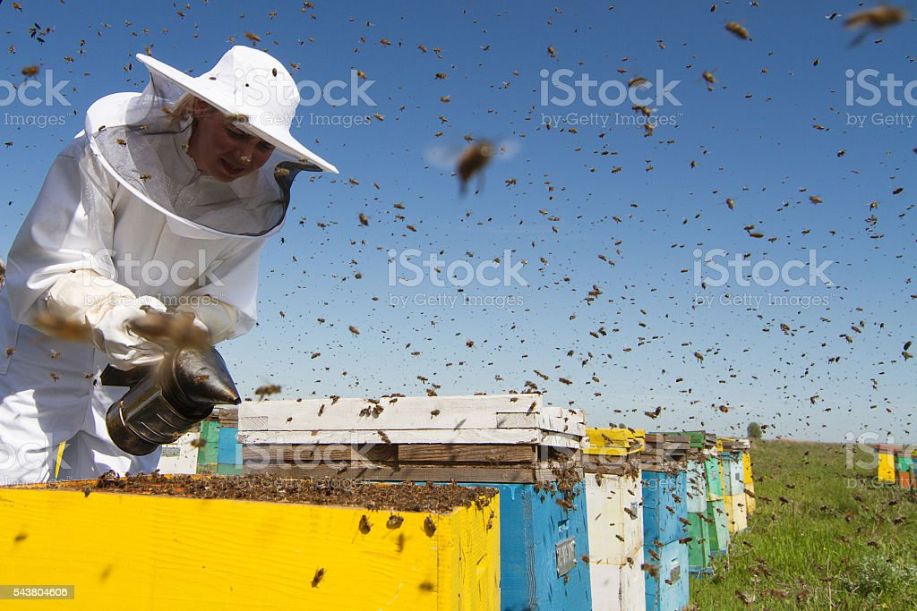 Woman beekeeper smoking the beehives stock photo