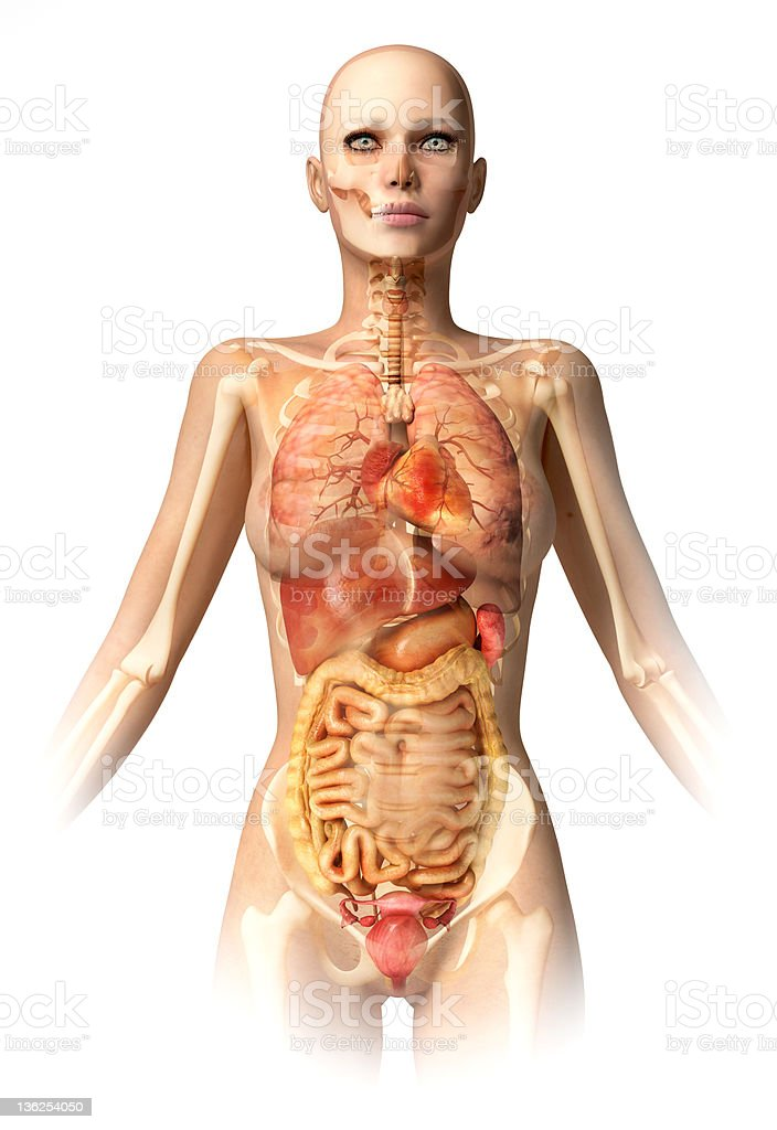 Woman Body With Bone Skeleton And All Interior Organs Stock Photo