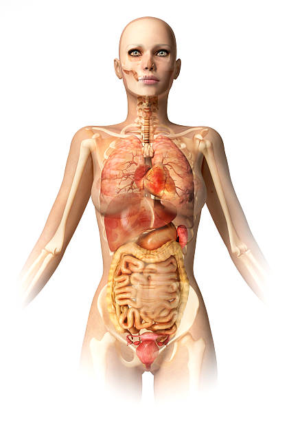 Woman body, with bone skeleton and all interior organs. stock photo
