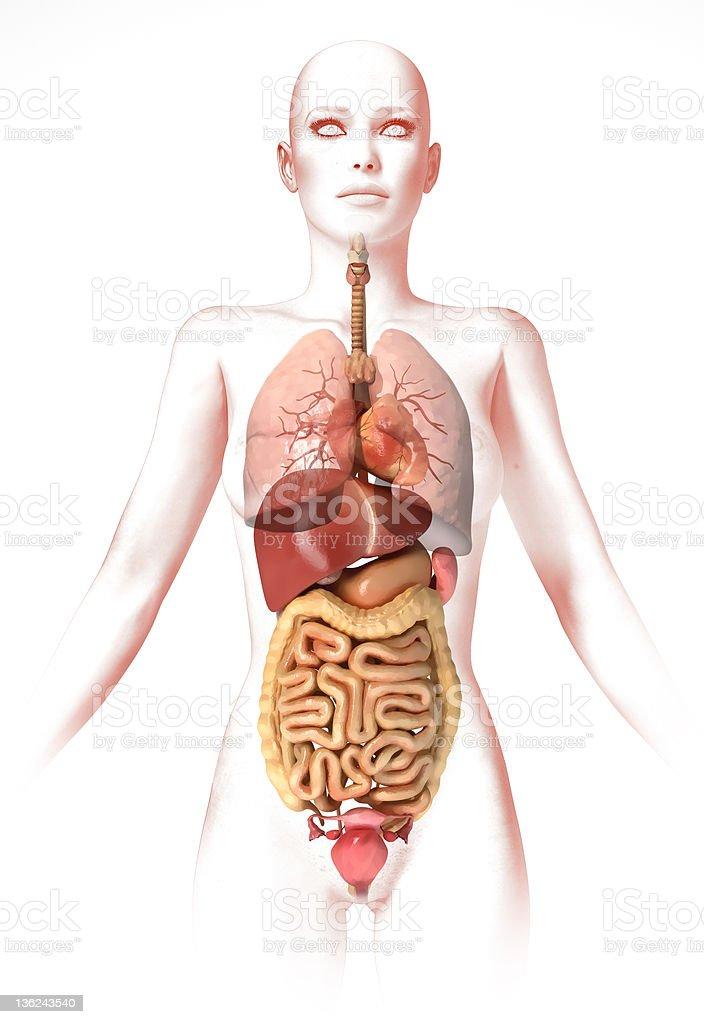 Fotografía de Cuerpo De Mujer Con Interior De Los órganos Anatomía ...