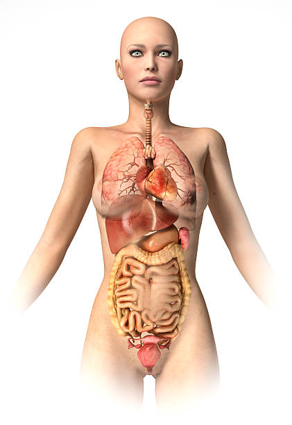 woman body  with interior organs superimposed. - internal organ stock photos and pictures