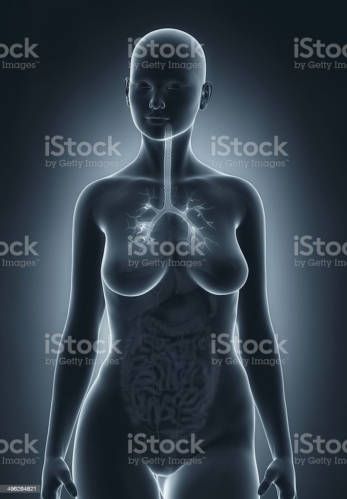 Frau Bronchialbaum Anatomie Stock-Fotografie und mehr Bilder von ...