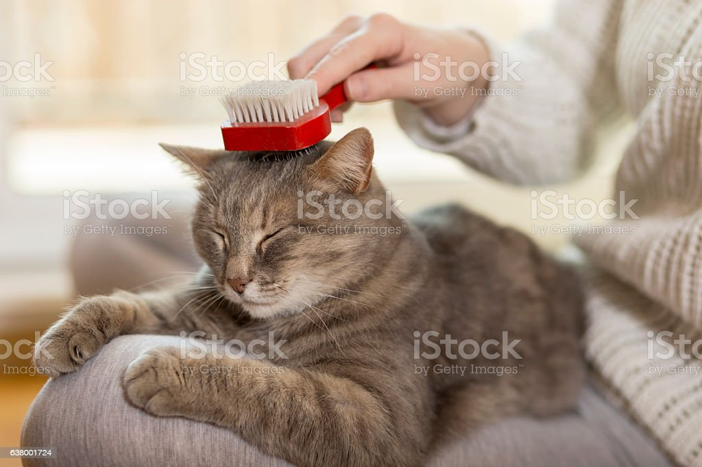 Tabby cat lying in her owner\'s lap and enjoying while being brushed...