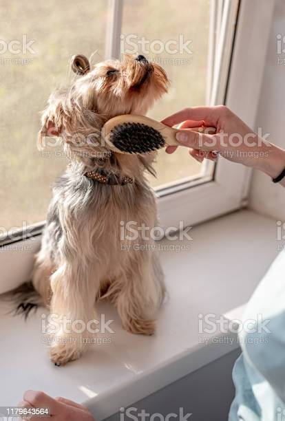 Woman brushing her yorkshire terrier picture id1179643564?b=1&k=6&m=1179643564&s=612x612&h=nabtxeu3s3j8mdnx2ckffq73ykp87 ty5q  wjwbghy=