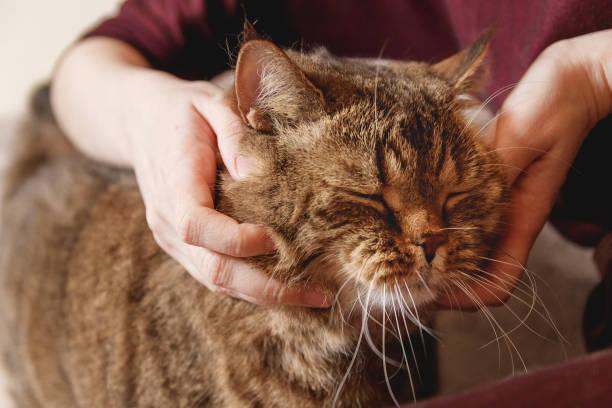 Woman caress tabby cat hand of woman caress beautiful half sleepy picture id917144062?b=1&k=6&m=917144062&s=612x612&w=0&h=xzilycbahowkrpxizb0ra08v4g0caomiy1te1faspjm=