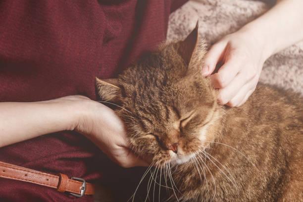 Woman caress tabby cat hand of woman caress beautiful half sleepy picture id917145656?b=1&k=6&m=917145656&s=612x612&w=0&h=smsovpjpwj0qbq5iaiuezah2hq2mxltoe87fhu6ifae=