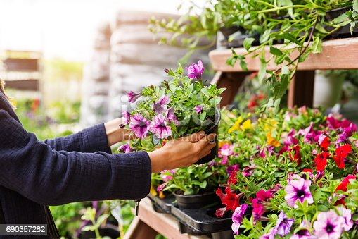 woman chooses petunia flowers at garden plant nursery store