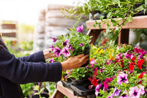 femme choisit petunia fleurs au magasin pépinière plante de jardin - fleur flore photos et images de collection