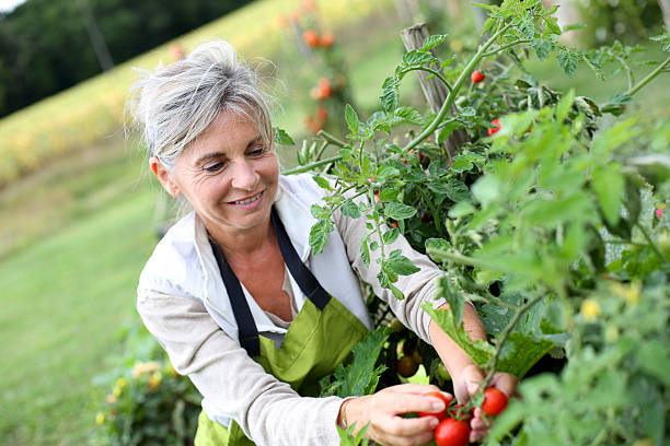 Woman choosing tomatoes to pick up from vegetable garden stock photo