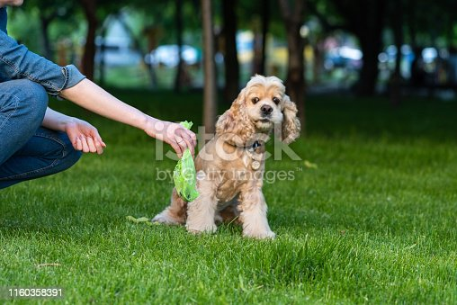 Woman clean shit after cocker spaniel in public park. Confused dog.