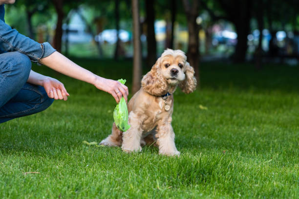 Woman clean shit after cocker spaniel in park Woman clean shit after cocker spaniel in public park. Confused dog. poop stock pictures, royalty-free photos & images