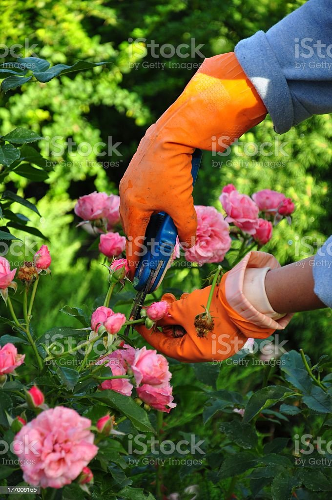 A woman clipping some roses in her garden stock photo