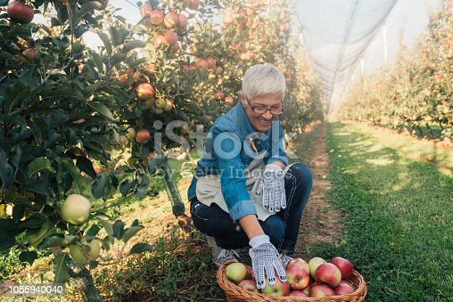 1056015258 istock photo Woman collecting apples at fruit orchard 1055940040