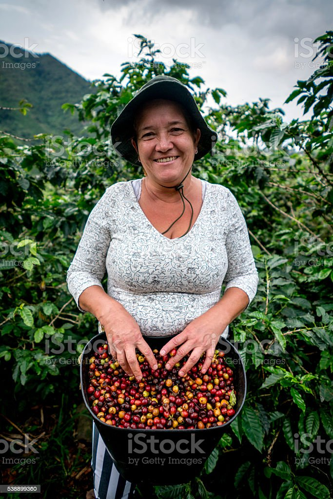 Woman collecting Colombian coffee at a farm stock photo