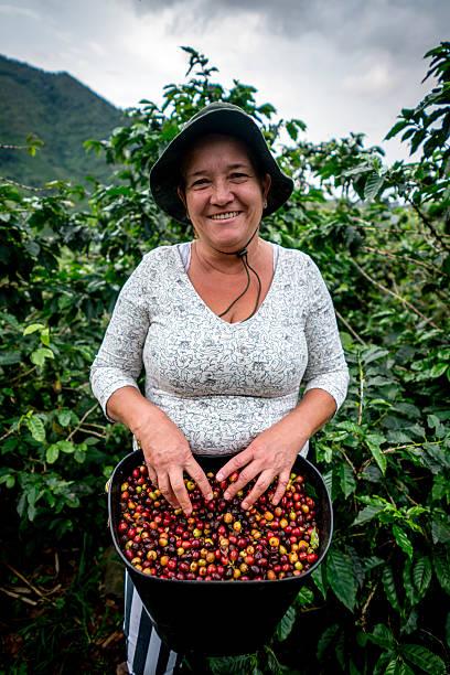 woman collecting colombian coffee at a farm - coffee farmer foto e immagini stock