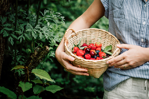 Close-up of a woman collecting fruits and berries in a wicker basket in garden. Female picking fresh berries.