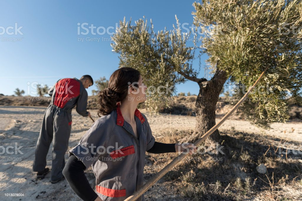 Woman collecting olives for oil with man hitting trees with stick stock photo