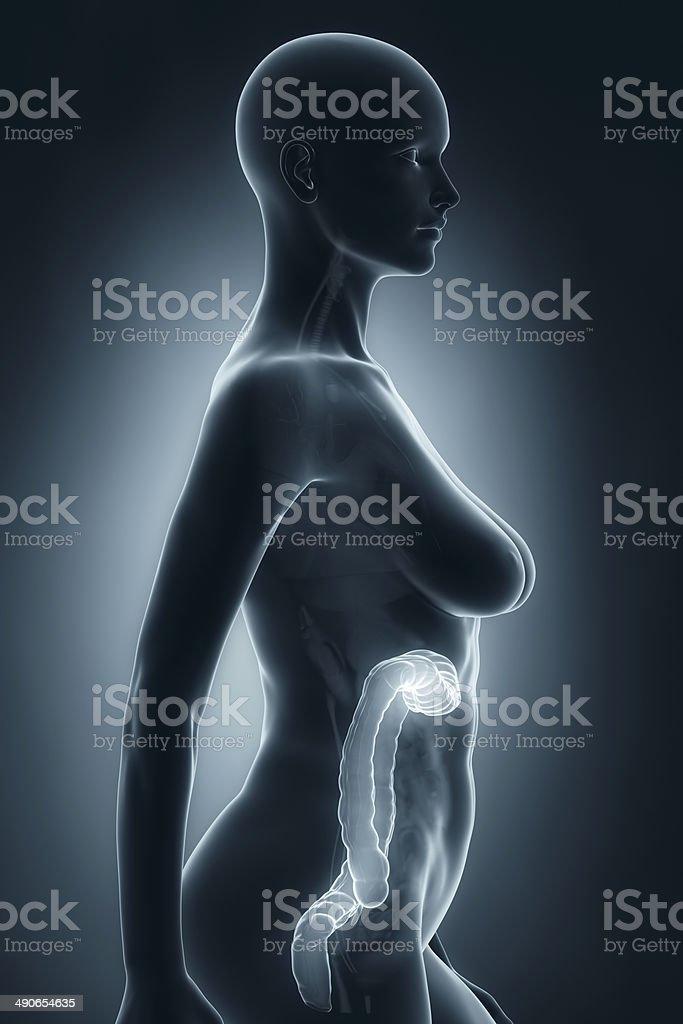 Fotografía de Mujer Colon Anatomía De Rayos X Vista Lateral y más ...