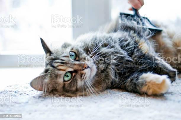 Woman combing her cat picture id1251467566?b=1&k=6&m=1251467566&s=612x612&h=f2k95gfgqdeg4qw3eulng2hk6g8ytmy8oz2k8f0iomc=
