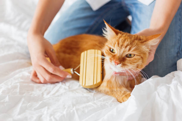Woman combs a dozing ginger cats fur the fluffy pet comfortably to picture id867019346?b=1&k=6&m=867019346&s=612x612&w=0&h=yxskt1js2gecfwjzzyp6 bgynt9c6bht1n lddrhk68=