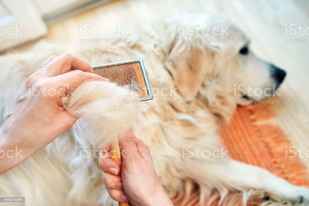 Woman combs old Golden Retriever dog with a metal grooming comb stock photo