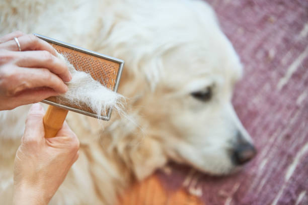 Woman combs old golden retriever dog with a metal grooming comb picture id915214550?b=1&k=6&m=915214550&s=612x612&w=0&h=regjqwju0weq8mh9kglit8jlny6vsiszfvpg1c9sxlg=