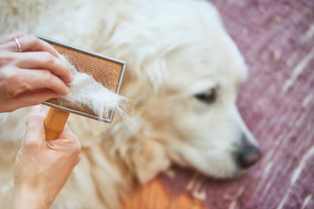 frau kämme alten golden retriever hund mit einem metall pflege kamm - entfernen von tierhaaren stock-fotos und bilder