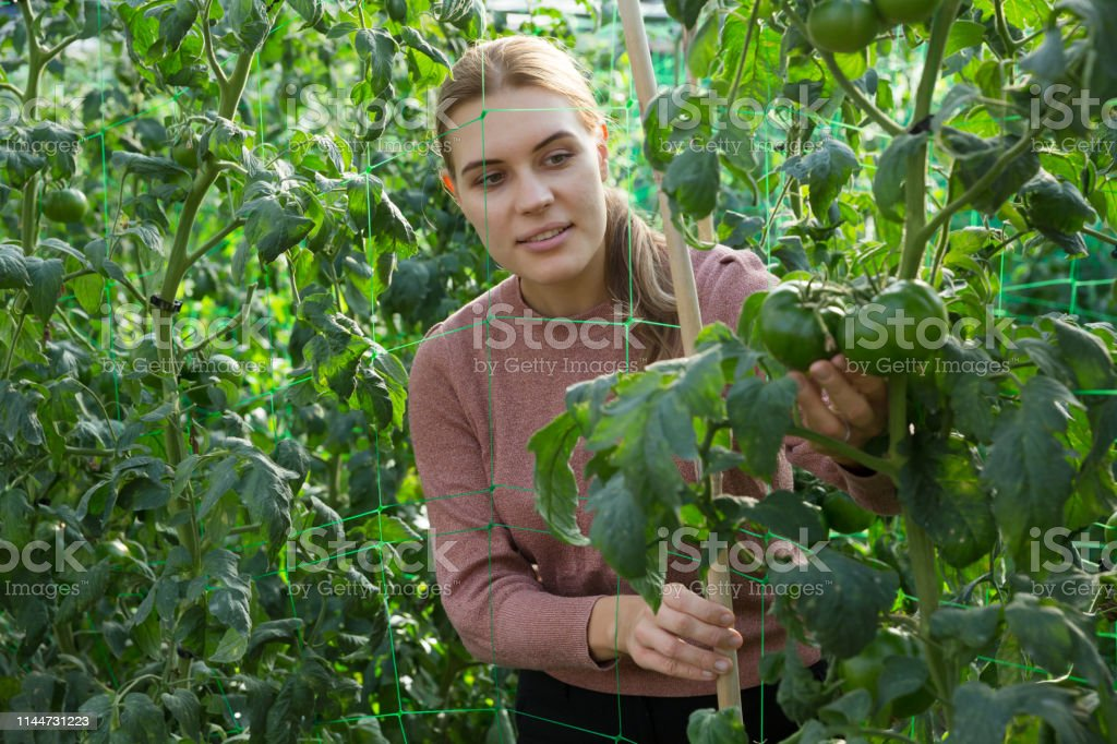 Woman controlling quality of ripening tomatoes in her organic...