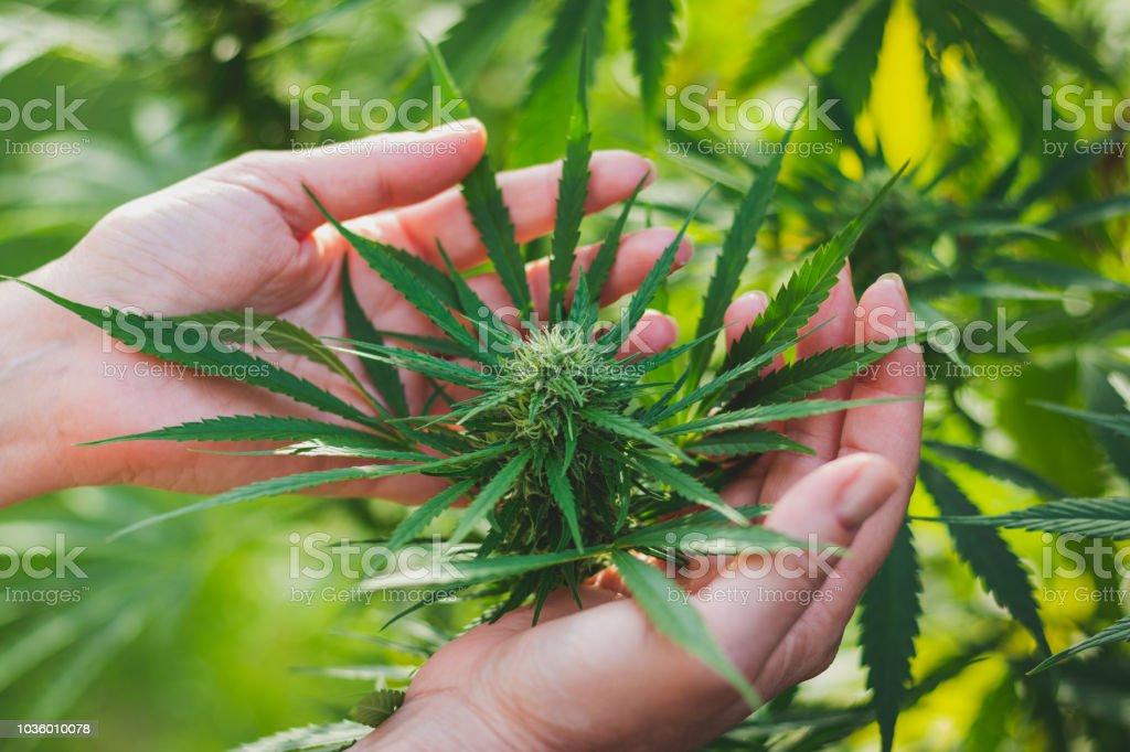 女人控制著大麻的收成。 - 免版稅一個人圖庫照片
