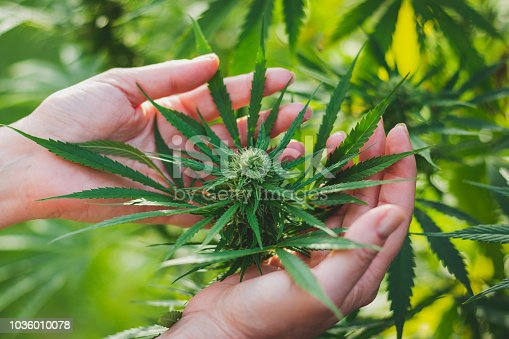 istock Woman controls the harvest of marijuana. 1036010078