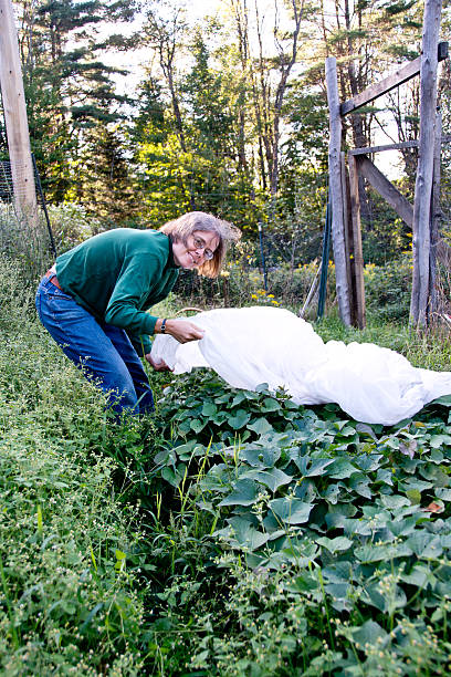 Woman covering plants before frost in vegetable garden stock photo