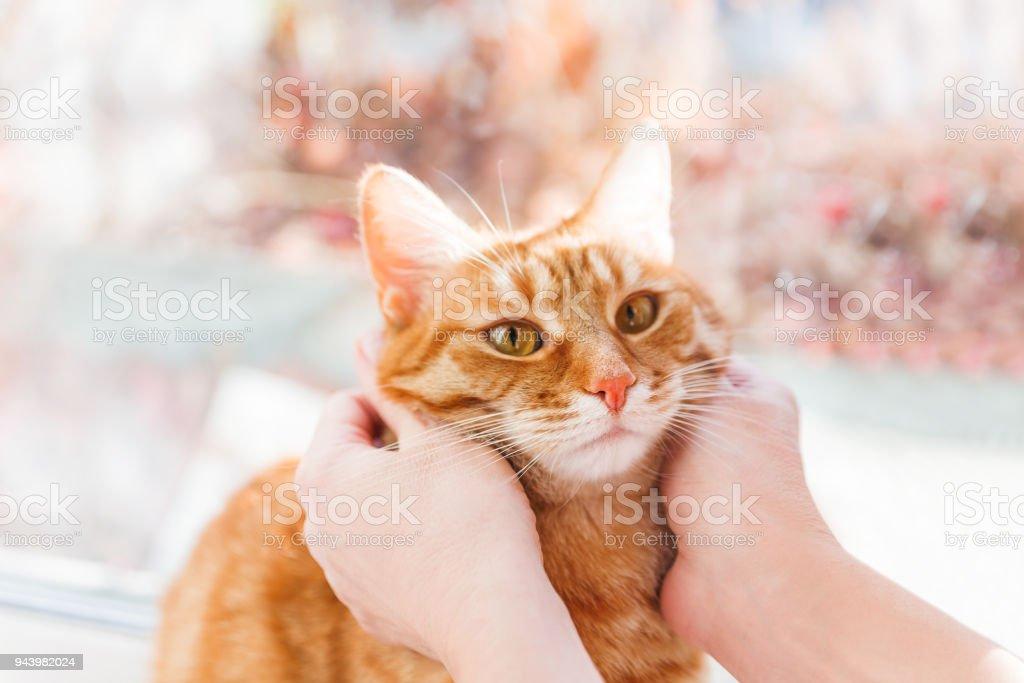 Frau kuschelt Het süße Ingwer Katze. Flauschige Tabby Haustier sieht verwirrt. – Foto