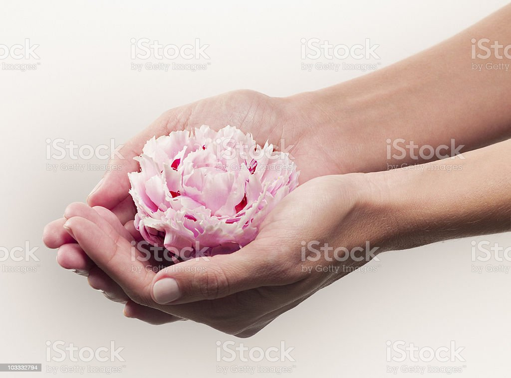 Woman cupping pink peony stock photo