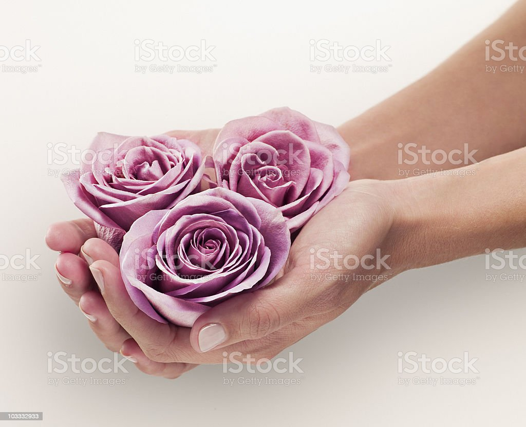 Woman cupping three pink roses royalty-free stock photo
