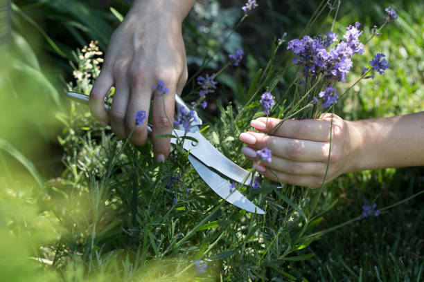 Woman cuts the lavender scissors. Woman cuts a lavender bouquet with garden scissors. Pruning a lavender in the garden Woman cuts the lavender scissors. Woman cuts a lavender bouquet with garden scissors. Pruning a lavender in the garden cusp stock pictures, royalty-free photos & images