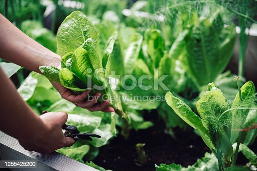 Close-up of a female hands cutting a plant with pruning shears in her vegetable garden. Woman cutting leafy vegetable for making green salad.
