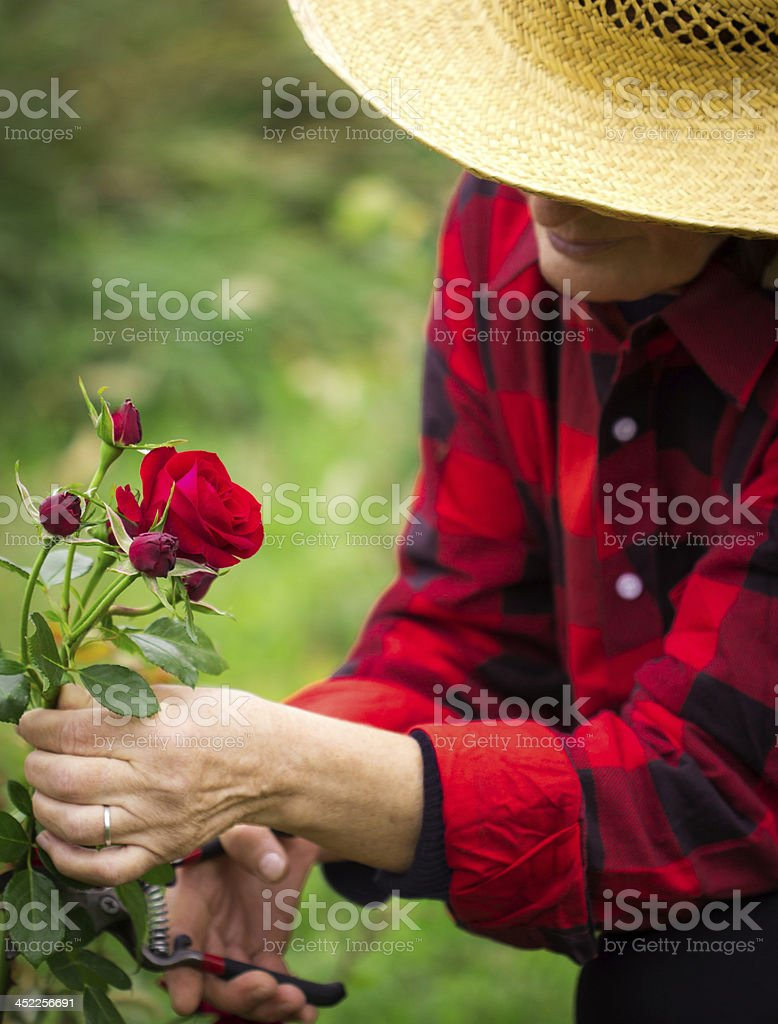 Woman cutting roses in the garden stock photo