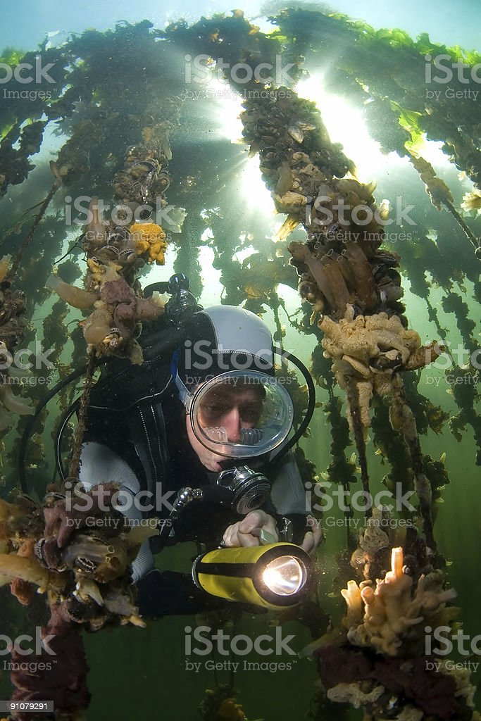 Woman diver at an oister farm Oosterschelde Netherlands royalty-free stock photo