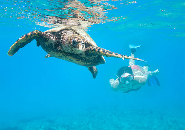 여자 다이빙, hawksbill 바다 거북이, 세이쉘 - 세이셸 뉴스 사진 이미지