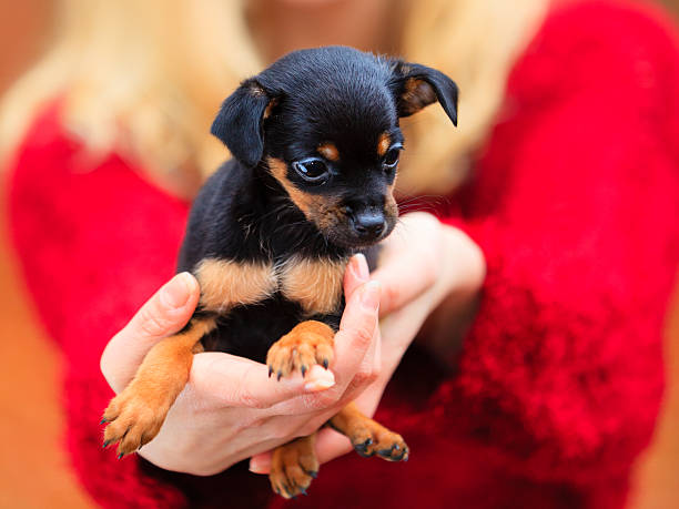 Pets and people, pet adoption. Woman showing her little dog pet...