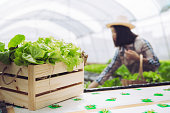 Woman farmer collect hydroponic, organic vegetables in greenhouse owner small business entrepreneur, Healthy food nutrition product for health lovers, Happy people lifestyle farming at morning