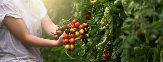 A woman farmer picks cherry tomatoes in a greenhouse. Organic farm. Slow motion