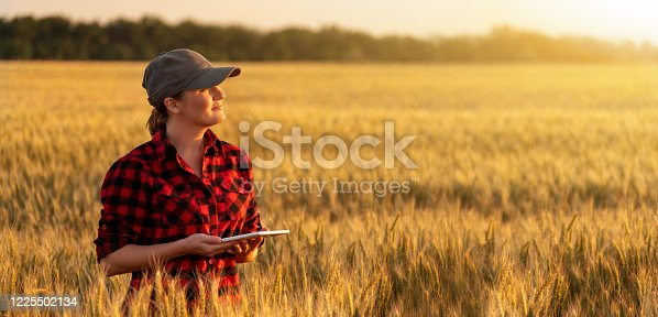 A woman farmer examines the wheat field and sends data to the cloud from the tablet. Smart farming and digital agriculture.