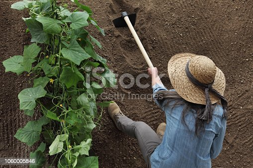 woman farmer working with hoe in vegetable garden, hoeing the soil near a cucumber plant, top view and copy space template