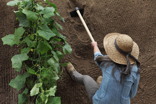 woman farmer working with hoe in vegetable garden, hoeing the soil near a cucumber plant, top view and copy space template woman farmer working with hoe in vegetable garden, hoeing the soil near a cucumber plant, top view and copy space template garden hoe stock pictures, royalty-free photos & images